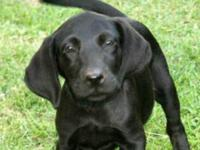Black Labrador Retriever - Puppy Princeton - Medium -