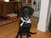 Black Labrador Retriever - Quincy - Large - Senior -