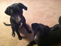 Black Labrador Retriever - Sadie - Large - Young -