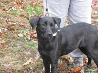 Black Labrador Retriever - Sassy - Medium - Young -
