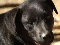 Black Labrador Retriever - Shep - Large - Young -