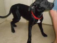Black Labrador Retriever - Slippers - Medium - Young -