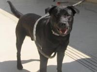 Black Labrador Retriever - Sonny - Medium - Young -