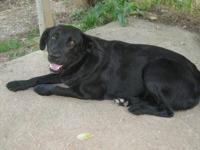 Black Labrador Retriever - Sugar - Medium - Young -