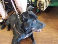 Black Labrador Retriever - Sunny - Medium - Young -