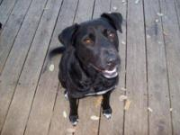 Black Labrador Retriever - Sweetie Pie - Medium - Young