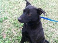 Black Labrador Retriever - Toby - Medium - Young - Male