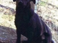 Black Labrador Retriever - Toledo - Medium - Young -