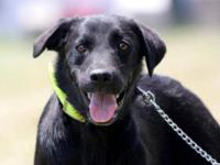Black Labrador Retriever - Violet (needs Quiet Home) -