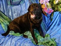 Black Labrador Retriever - Wally - Large - Adult - Male