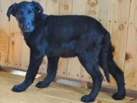 Black Labrador Retriever - Walter - Medium - Young -