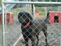 Black Labrador Retriever - William - Large - Adult -