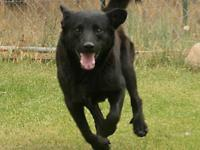 Black Labrador Retriever - Yudee - Medium - Young -