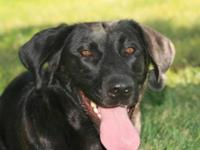 Black Labrador Retriever - Zoey - Medium - Young -