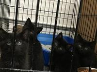 Black Male Kittens!'s story We currently have 2