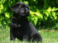 REDUCED FROM $450 - Black Male Lab - very Blocky -