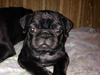 I am a Stunning black guy pug finding a caring house.