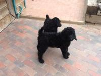 Purebred Inky Black Standard Poodle Puppy, $650  He is