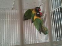 Black masked lovebirds $60 each One year old, not tame