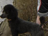 This black miniature poodle, stands 14 inches high and
