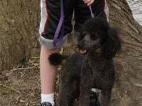AKC Black Miniature Poodle, Looking for a good home.