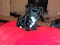 I have one, 4 month old black male Morkie Puppy for