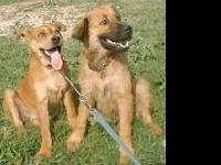 Black Mouth Cur - Annie - Medium - Adult - Female -