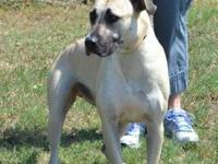 Black Mouth Cur - Athena - Large - Adult - Female -