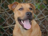 Black Mouth Cur - Belia - Large - Young - Female - Dog