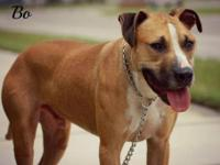 Black Mouth Cur - Bo - Large - Adult - Male - Dog