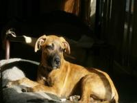 Black Mouth Cur - Caroline - Medium - Young - Female -