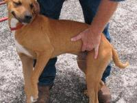 Black Mouth Cur - Casey (urgent) - Large - Young - Male