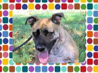 Black Mouth Cur - Charlie - Medium - Young - Male -