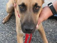 Black Mouth Cur - Charlie (urgent) - Large - Young -