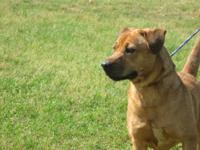 Black Mouth Cur - Cierra - Medium - Young - Female -