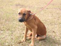Black Mouth Cur - Gideon - Large - Young - Male - Dog