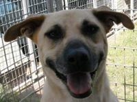 Black Mouth Cur - Hal - Medium - Adult - Male - Dog Hal