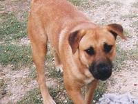 Black Mouth Cur - Howie - Medium - Adult - Male - Dog