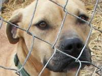 Black Mouth Cur - Jonah - Medium - Adult - Male - Dog