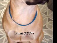 Black Mouth Cur - K 8398 Tank - Large - Young - Male -