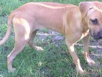 Black Mouth Cur - Mya - Large - Young - Female - Dog