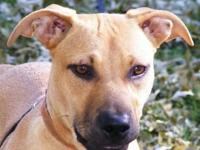 Black Mouth Cur - Olio - Medium - Young - Male - Dog