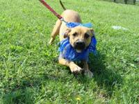 Black Mouth Cur - Ralphie - Medium - Young - Male -