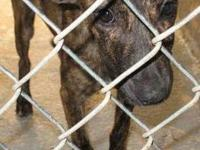 Black Mouth Cur - Sally (urgent) - Medium - Young -