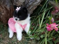 7 week old female pomeranian puppy. ACA registered