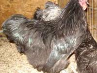 I have a very nice pair of Bantam Orpingtons available,