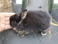 Black otter Netherland dwarf buck bunny very cute and