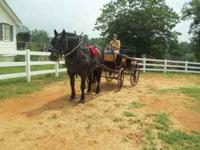 13yr old Percheron Mare. Rides and Drives. Great for