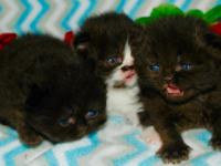 Huge copper eyes doll faced black female Persian will