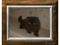 Cowboy is a 11 week old black persian male.  He's